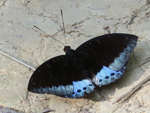 butterfly black and bule - 2