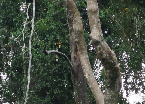 great hornbill nest 500 rai - 1