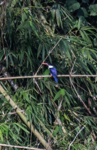 19 - kingfisher black capped